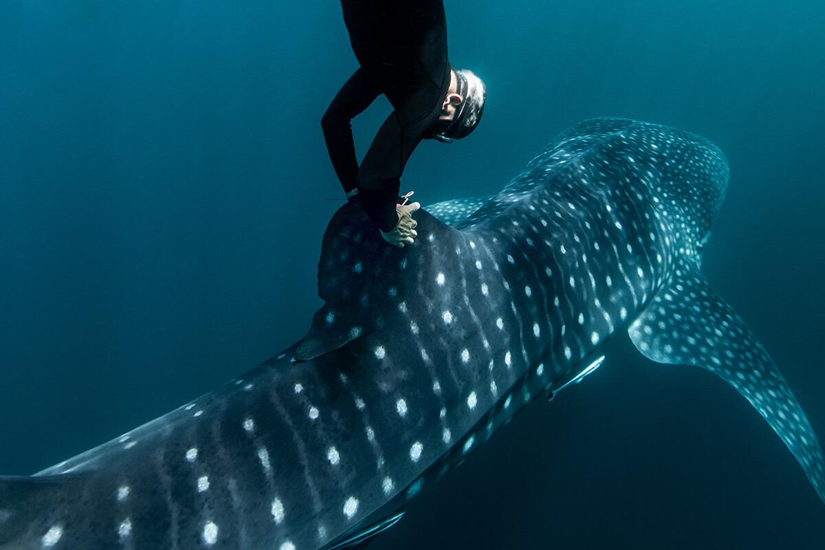 Brad Norman, vencedor dos Rolex Awards de 2016, a marcar um tubarão-baleia na costa oeste da Austrália